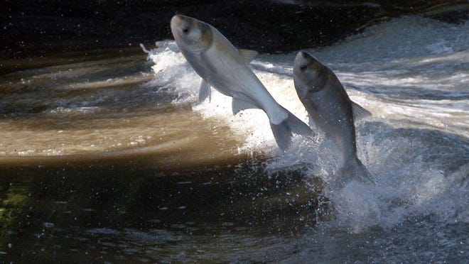 Silver Asian carp leap from the Illinois River near Bath, Ill., on Sept. 8, 2010. Noise from boats causes the carp to leap.