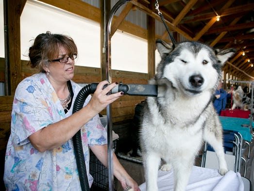 Pam Warrichaiet of Spencer blow dries her Alaskan malamute, Maya, before showing at the Marshfield Area Kennel Club Dog Show at Marshfield Fairgrounds Park, Saturday, Aug. 16, 2014.