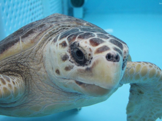 Endangered sea turtles, like Humphrey, a loggerhead