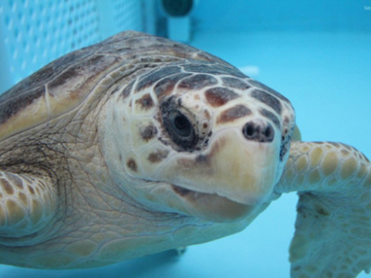 Endangered sea turtles, like Humphrey, a loggerhead sea turtle, are cared for and released by Sea Turtle Recovery. Humphrey was released near Jenkinson's Aquarium in Point Pleasant Beach in 2017.