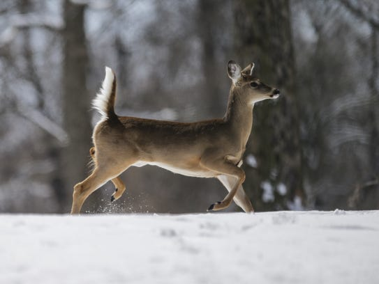 Deer forage for food and roam freely around Crown Hill
