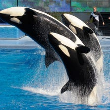 Trainers, from left, Joe Sanchez, Brian Faulkner and Kelly Aldrich work with killer whales Trua, front, Kayla, center, and Nalani on March 7, 2011, at the SeaWorld Orlando theme park.