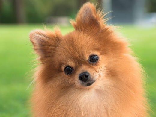 22. Pomeranians • 2016 rank: 22 • 2007 rank: 13 • The