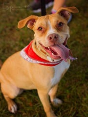This is Ryzen, a year old pit mix available for adoption