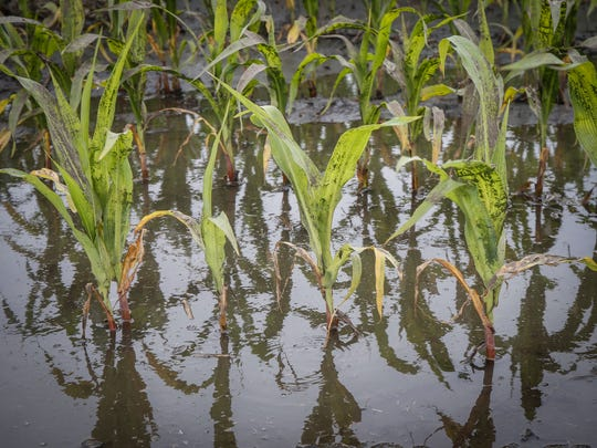Corn plants are surrounded by flood water on June 25, 2018, in Bondurant.