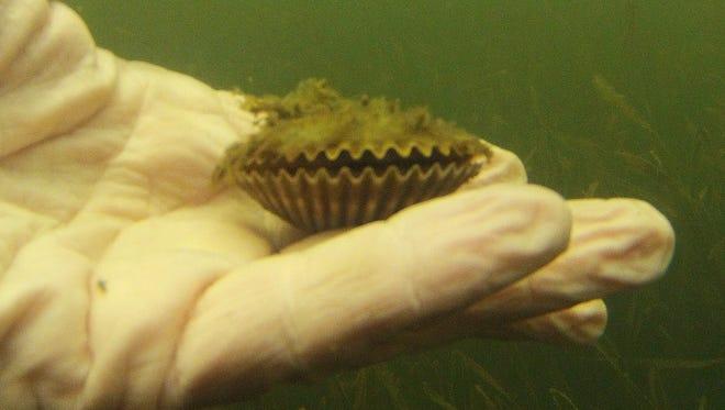 A scallop found during a previous Pine Island Scallop Search in Pine Island Sound.