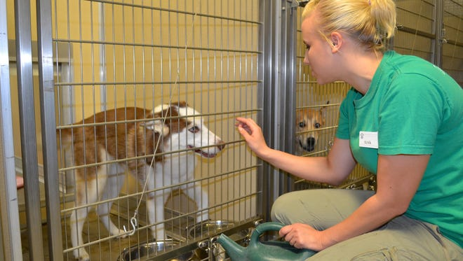 In this May 2011 Daily Herald Media file photo, Olivia Zimmerman, an employee at the Humane Society of Marathon County, interacts with a dog at the shelter in Wausau.
