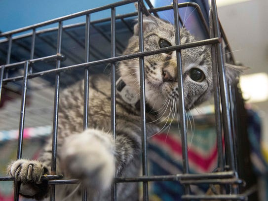 A cat is shown at the Muncie Animal Care & Services