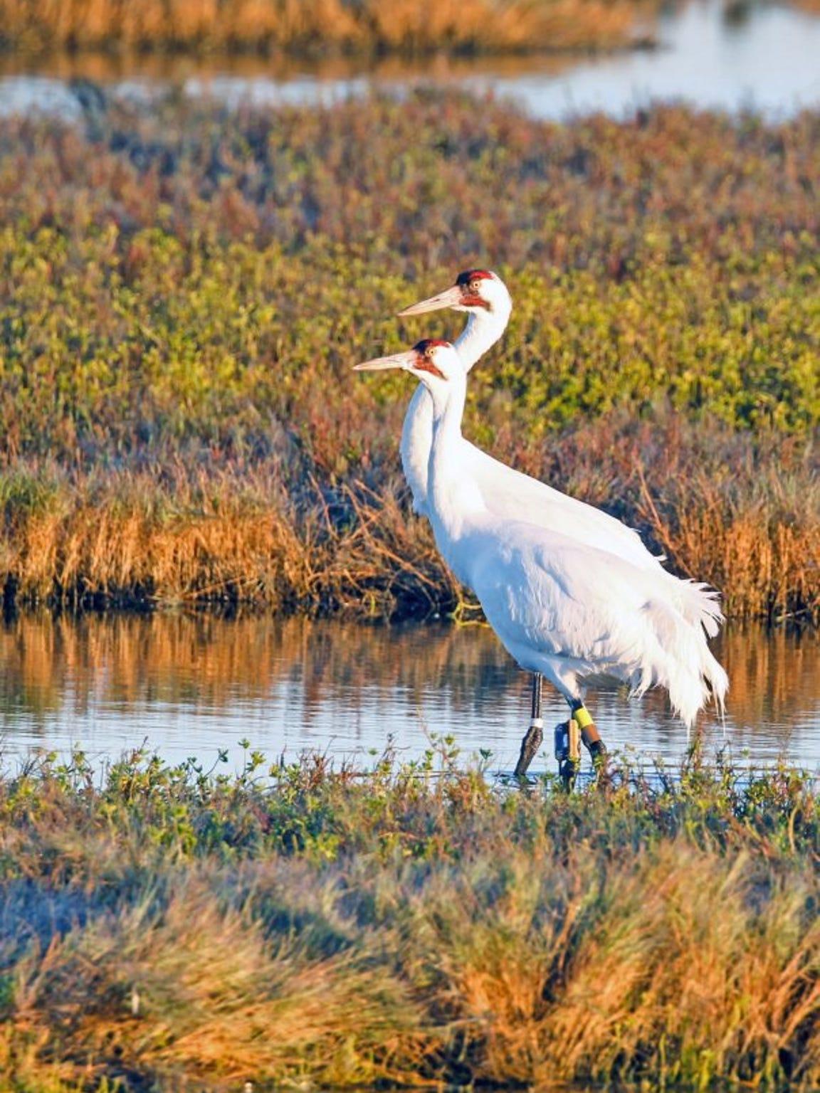 David Sikes/Caller-Times Whooping cranes winter at Aransas National Wildlife Refuge.