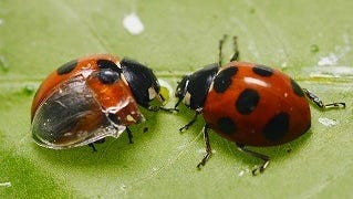 Researchers transplanted a transparent artificial forewing, or elytron, onto a  seven-spotted ladybug (left) to observe its wing-folding process in detail.