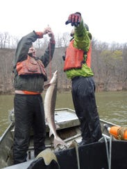 Researchers measure a sturgeon caught in the Genesee