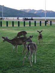 Deer at Shasta Dam near the visitors center, a fixture