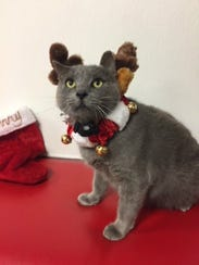 Johnny the cat is dressed as a reindeer for Christmas.