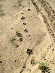[Image: 636626270322625714-animals-wolves-behavi...tracks.jpg]