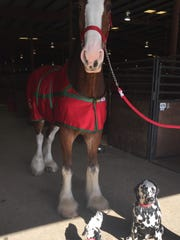 Budweiser Clydedale Donny is part of the 10-horse team