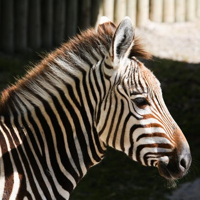 One of three Hartmann's mountain zebras who arrived