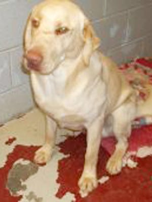 August is a one-year-old neutered male LabradorRetriever. He is very strong and exuberant and enjoys being outside. To adopt August, or see what other new friends may be available for adoption, visit the High Desert Humane Society, or call 575-538-9261.