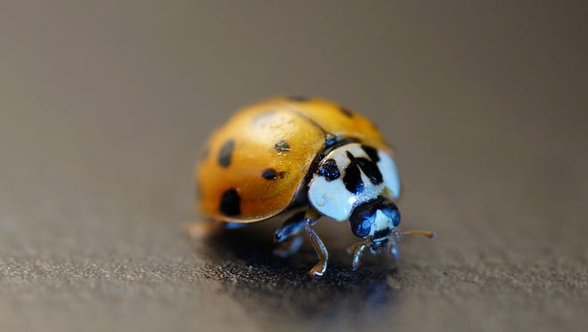 An Asian lady beetle will stain paint and fabrics if handled roughly.