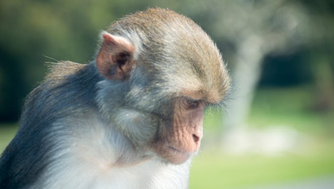 An example of a rhesus monkey.