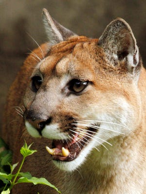 In this Sept. 8, 2010, file photo, 13-year-old cougar Chinook opens her mouth and makes a chirping sound to call her mate at the Oregon Zoo in Portland, Ore.