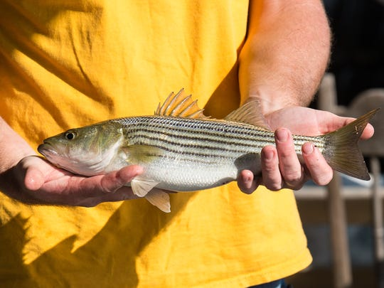 Brady Stevens holds a striped bass caught during the King Tide on Sunday, Nov. 5, 2017.