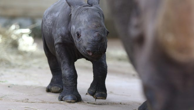 An unnamed endangered black baby rhino was born to Blank Park ZooÕs mom Ayana and dad Kiano, the south side parkÕs rare eastern black rhinos, at about 11:23 a.m. Oct. 11 on the zooÕs grounds. The female, 80-pound calf is likely the first endangered rhino born in the state of Iowa, according to the zoo, shown here Monday Oct. 17, 2016, at the zoo's rhino enclosure.