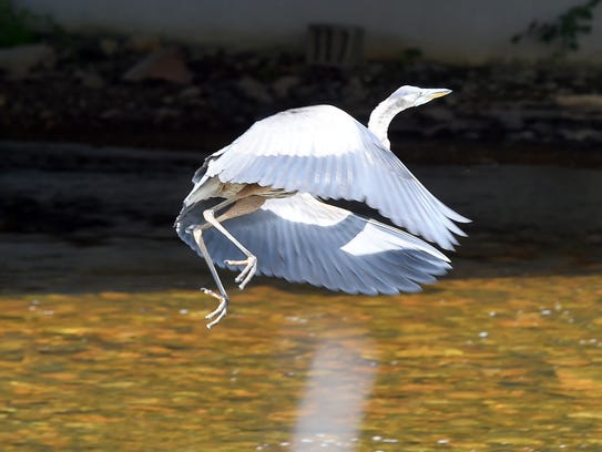 A great blue heron takes off from the South River near