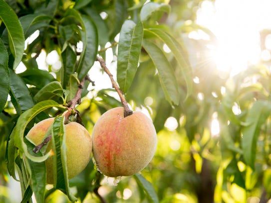 Peaches grow on a tree at Edgehill Memorial Gardens