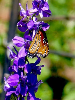 A Queen butterfly pollinates as she forages for nectar on a blue larkspur. Queens are similar to Monarchs but Queens have white dots within the black borders and on forewings while Monarchs have white dots only within black borders. Forewings of Queens lack the bold black lines that define monarchs.