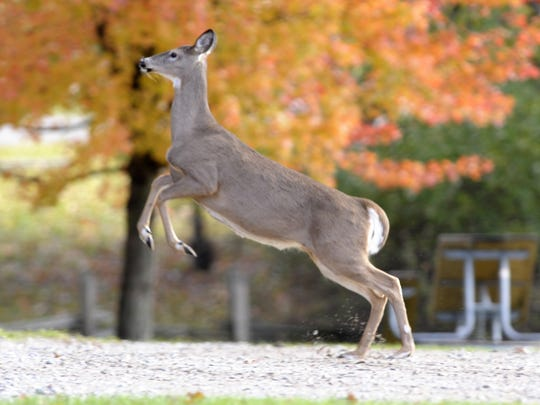 Chronic wasting disease is caused by a deformed, self-multiplying form of protein, a prion that eats holes in the brain.