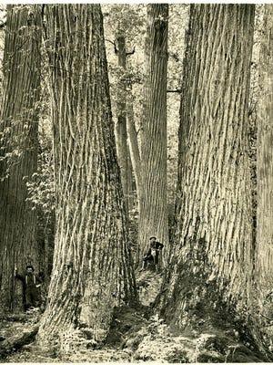 Chestnut Giants, Great Smokey Mountains, Western North Carolina. circa 1910.
