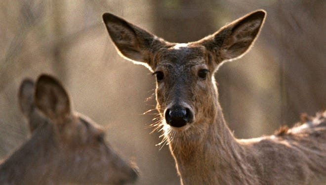 White-tail deer file photo