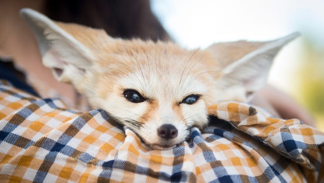 Felix the fennec fox rests in Victoria Klouda's arms on Friday, Nov. 17, 2017. Klouda is challenging a Knox County ordinance on which animals are and are not allowed in county parks.