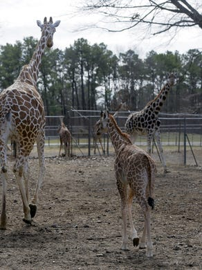 2017: Georgia, a 23-year-old giraffe, walks with her baby, Xena, who was born on January 1, at Six Flags Great Adventure and Safari in Jackson, NJ Monday February 27, 2017.