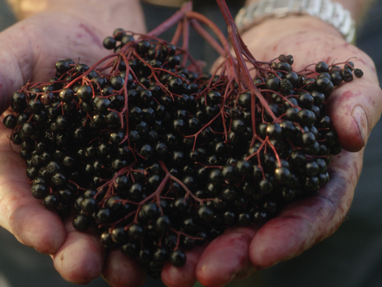 Searches for elderberry recipes on Pinterest increased by 685% in 2018.