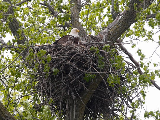 A bald eagle sits with one of its fledglings from their