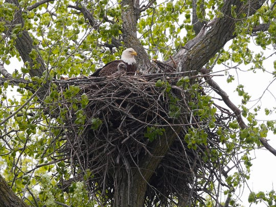 A bald eagle sits with one of its fledglings from their nest in a tree over the pool 9 backwaters of the Mississippi River near Lansing, Iowa.