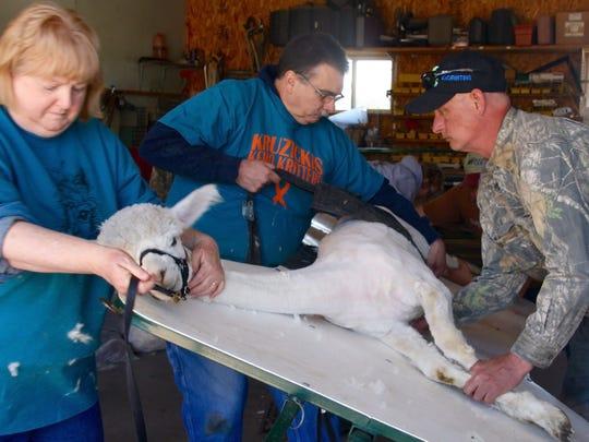 Josie Kruzicki holds the alpaca on a tilting table while experienced shearers quickly remove the fiber.