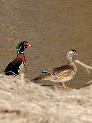 Wood ducks are commonly harvested  early in the season at Harsens Island Managed Waterfowl Hunt Area.