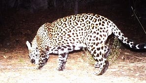 A jaguar captured by a camera along the Fort Huachuca trail in southeast Arizona.