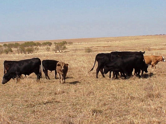 cattle-in-dry-pasture.jpg