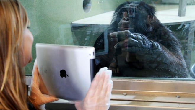 Ape Cognition & Conservation Initiative - ACCI, worked with the Iowa State Fair to hold a food contest that one of the Bonobos, Kanzi, helped judge. Several celebrity judges tasted around 25 entries and narrowed it down to 3 top pieces. Kanzi picked the fruit he wanted to eat and that helped pick the winning entry. Des Moines Register Staff Writer, Jennifer Miller, also helped with the judging. Kanzi watches and communicates with the judges over Skype.