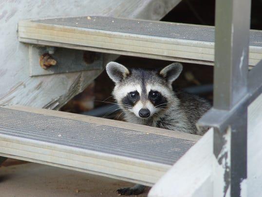 Raccoon under steps.jpg