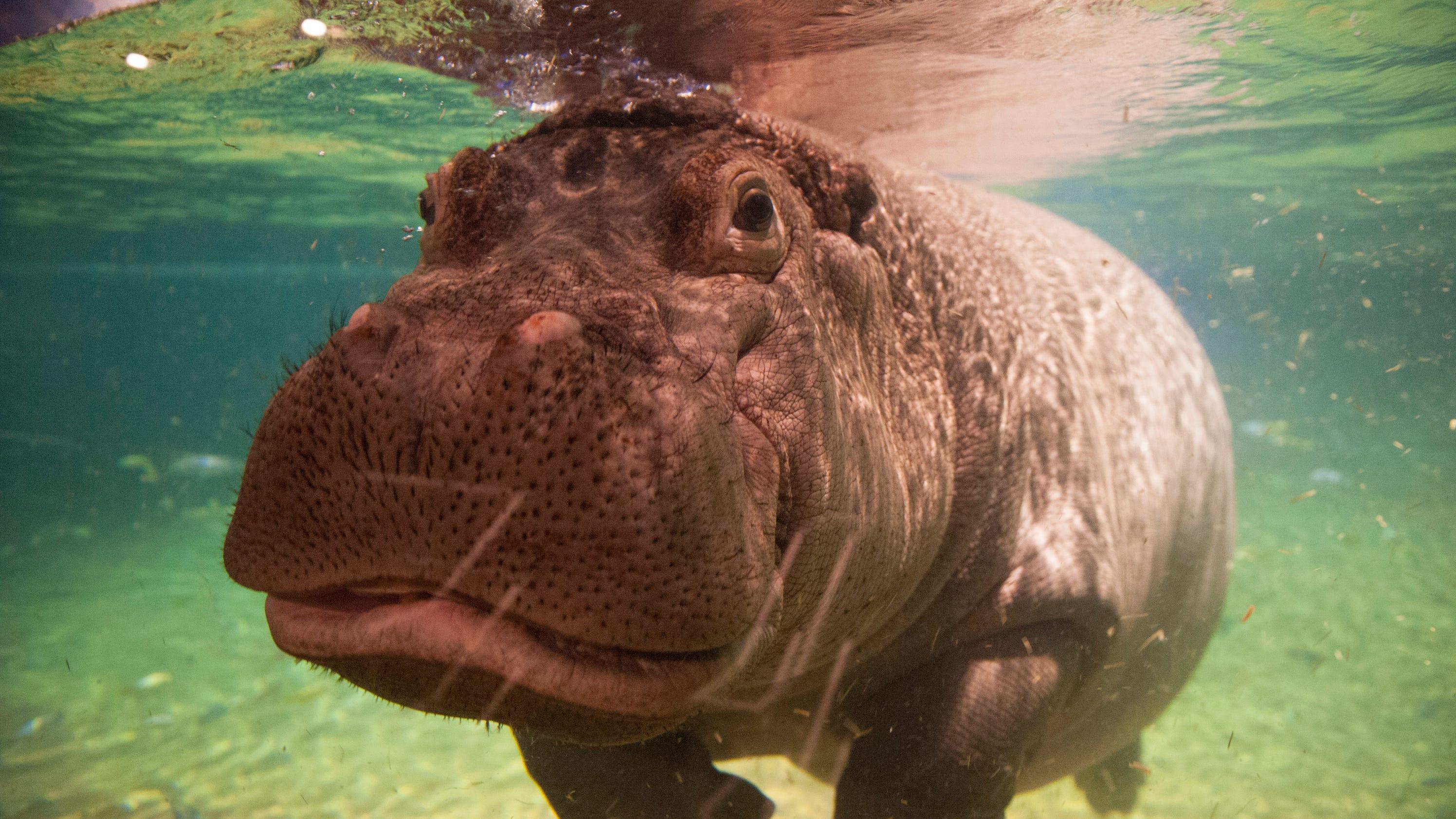 Hippo Haven A Fun Escape At Adventure Aquarium