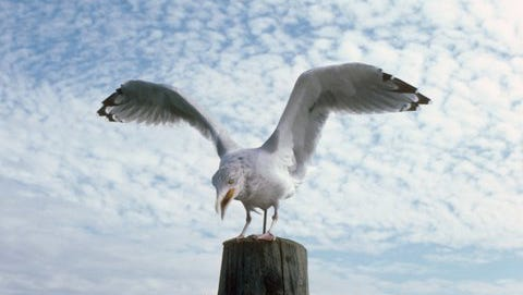 A Maine Herring gull makes off with one of Al Cooper's french fries.
