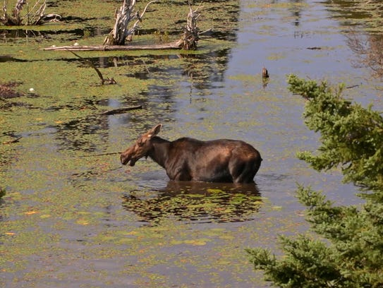 A cow moose eats water shield, an aquatic plant, from