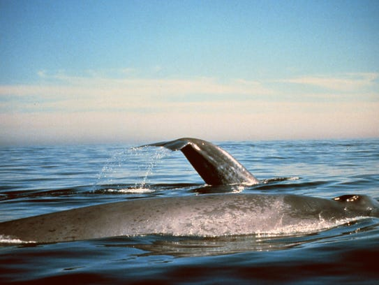 Blue whales swim in the Gulf of the Farallones National