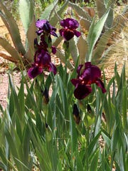 The iris' are in full bloom at the Hondo Iris Farm