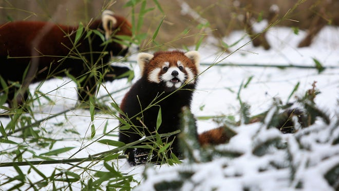 Red pandas plays in the snow at the Cincinnati Zoo & Botanical Garden on Wednesday, January 20.