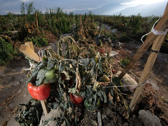 Bell peppers are damaged by recent frost and cold on a field on the corner of 64th Avenue and Van Buren St. in Thermal, CA on Tuesday, December 30, 2014.